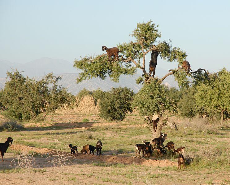 Argan Tree - Environment News - Israel