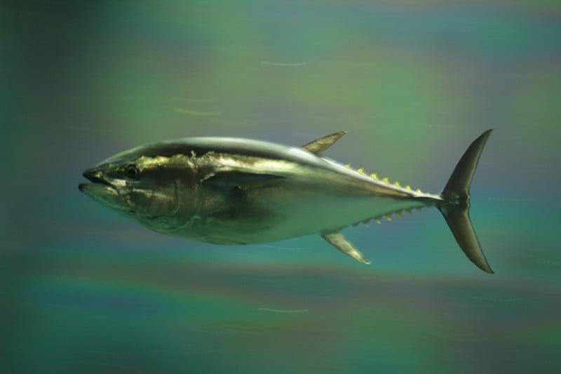 Bluefin tuna - Environment News - Israel