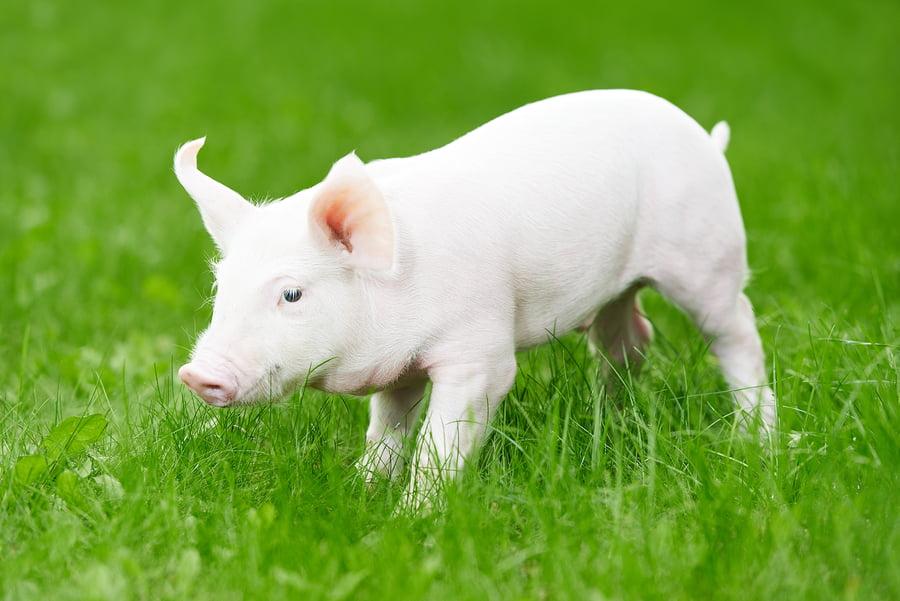 Health News: BGU Researchers Clear Barrier To Pig to Human Transplants