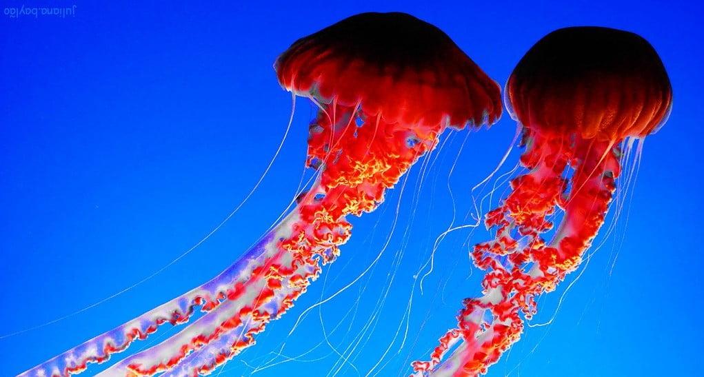 beautiful jellyfish swimming in the ocean