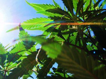 marijuana sun shine via Pixabay