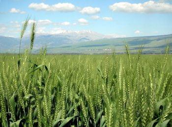 Wheat field via Zachi Evenor/Flickr