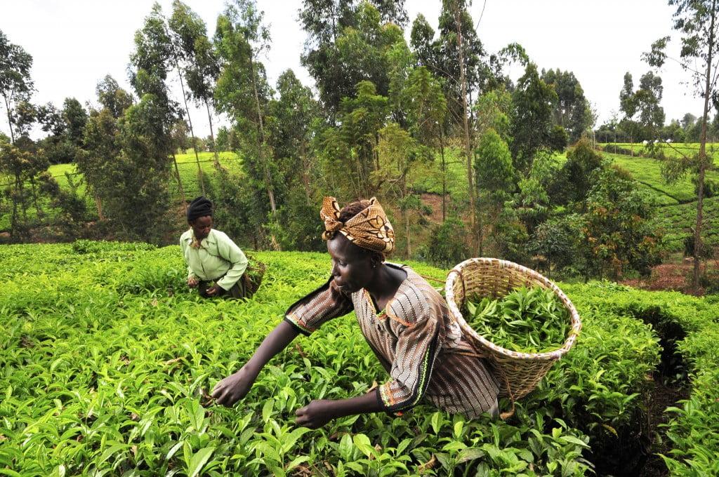 kenya agriculture tea crops green africa woman via Flickr