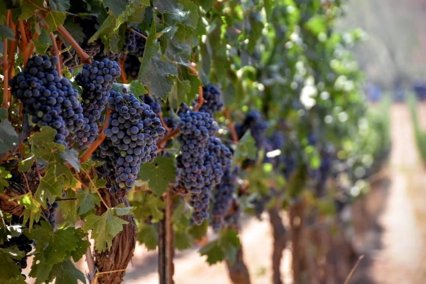 Vineyard Grapes. Photo via FieldIn's Facebook Page