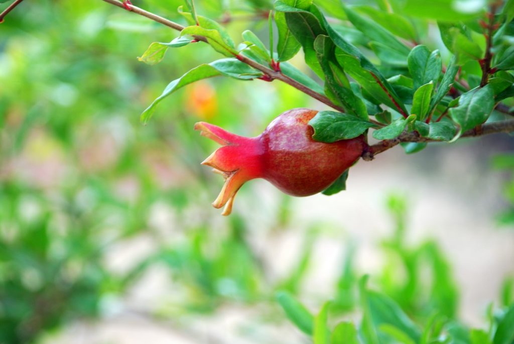 A pomegranate growing in Israel. Photo via Pikiwiki
