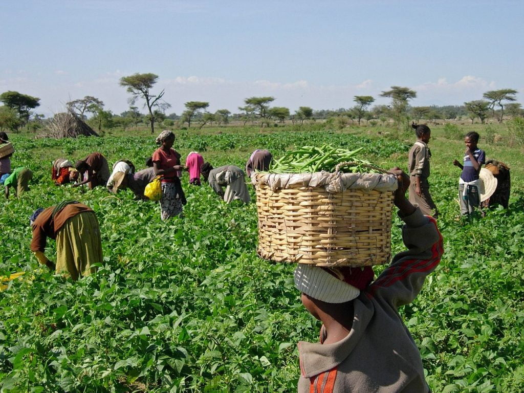 Women and children pick green beans at the a vegetable cooperative in Ethiopia. Photo by K. Stefanova/USAID via Wikimedia