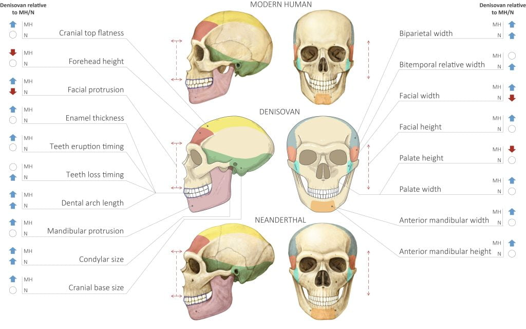 Comparison of Modern Human Neanderthal and Denisovan Skulls. Image by Maayan Harel