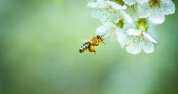 A honey bee in flight. Deposit Photos