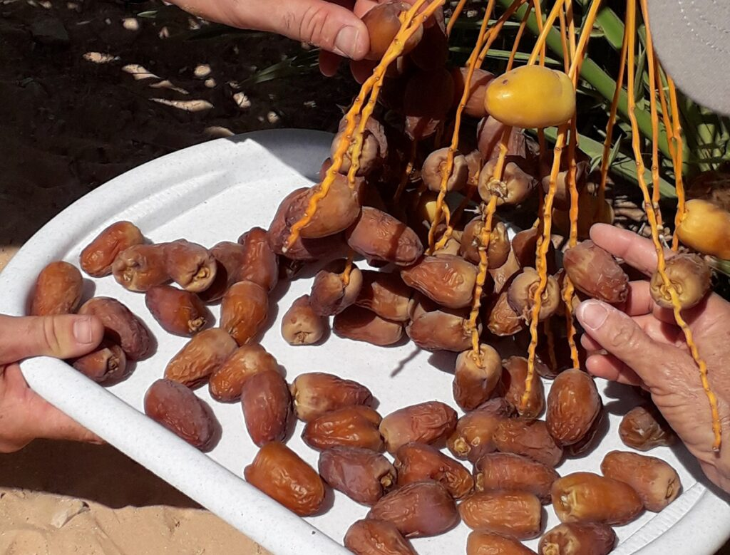 Dates from the date-palm tree Hannah. Photo: Debbie Eisner
