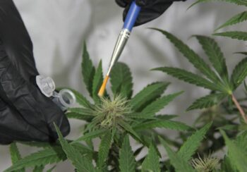 CanBreed, an Israeli Cannabis genetics and seeds company, says it has used genome editing technology to make the plant resistant to Powdery Mildew, a type of fungus that can be deadly for cannabis. Courtesy