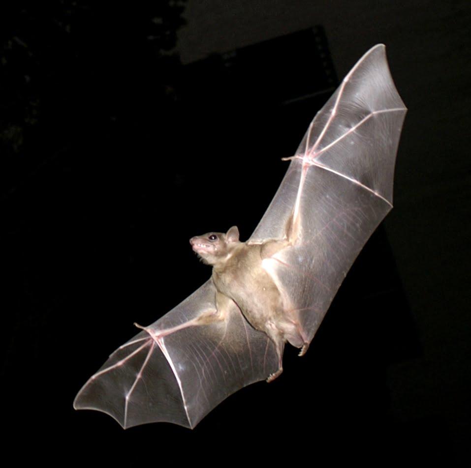 An Egyptian fruit bat in flight in Israel