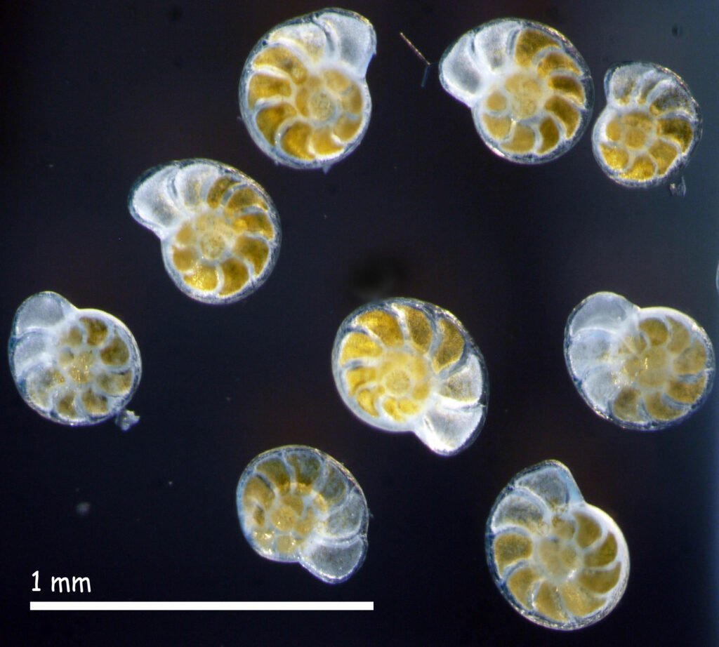 Foraminifera skeletons, microscopic marine organisms known to assimilate chemical elements from the available seawater. Photo: Dr. Shai Oron